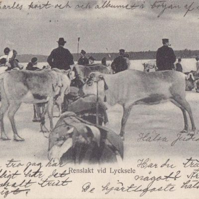 Renslakt vid Lycksele Ida Lindahls Bokh. Imp. Poststämplat 25/6 1906 Ägare: Åke Runnman 9x14