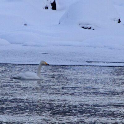 2016-02-29 Årets första svan låg i vattnet nere i ån den 28 februari Foto: Rolf Wahlberg