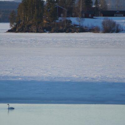2015-03-11 I dag den 11 mars såg jag svanar nere vid bron för första gången i år. Våren är på väg! Foto: Åke Runnman