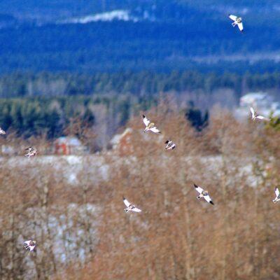 2014-03-23 Inte lätt att få en bild på flygande snösparvar men Elsebeth lyckades Foto: Elsebeth Wälivaara