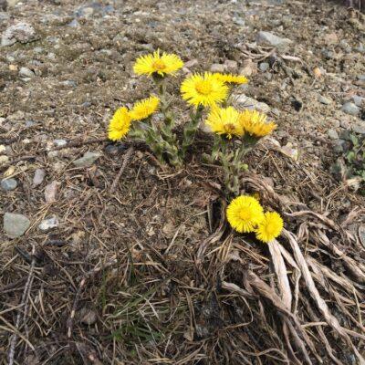 2015-05-04 Sol ena dagen, regn nästa och snö den tredje.  Aprilvädret har verkligen levt om, men nu ser det ut som att sjön river inom några dagar. Tussilagon blommar i dikeskanterna. Foto: Åke Runnman