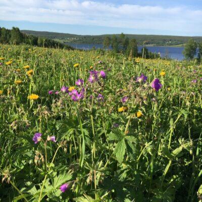 2016-06-07 Långt innan midsommar blommar nu både rödblära och midsommarblomster Foto: Åke Runnman