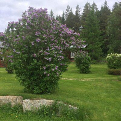 2014-06-11 Så här vackert blommade syrenerna hos systrarna Lycksell i Skarda Foto: Åke Runnman
