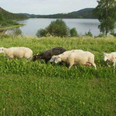 2015-07-05 Nya besökare på hembygdsområdet Foto: Åke Runnman