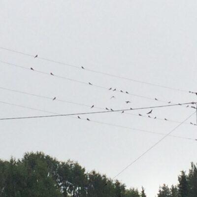 2015-08-17 Svalorna har börjat samlas på ledningarna inne i byn Foto: Åke Runnman
