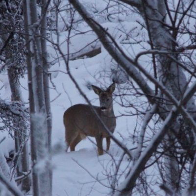 2017-01-17 Tack vare vinterns avverkningar i korsningen vid Vindelvägen kan man nu på ganska långt håll se hur rådjuren förflyttar sig mellan de matställen som finns Foto: Åke Runnman