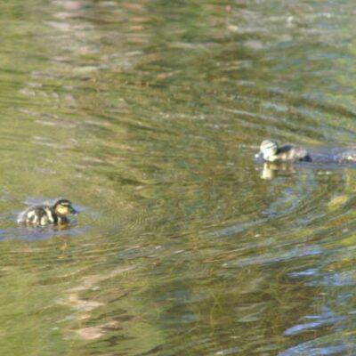 Juni 2006 Körde på Nationaldagens eftermiddag förbi Ankdammen och ser till min glädje att gräsandshonan som haft bo på den lilla ön nu kläckt fram tio små ungar som idag för första gången visade upp sig.