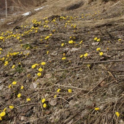 2018-04-27 Årets första tussilagor hittade jag i dag på slänten ner mot sjön bakom huset. Våren är här! Foto: Åke Runnman