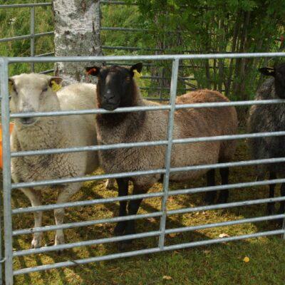 Några av fåren fick också vara med denna dag