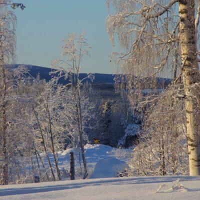 2019-01-20 Vinterbild från Örträsk med ett rådjur nedanför Gokaliberget. Foto: Åke Runnman