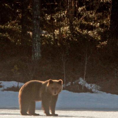 2020-04-21 En björn hade vaknat och visade sig vid Rankbågatjärn. Foto: Rolf Wahlberg