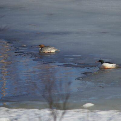 2020-04-20 Ett par storskrakar vilade i vaken nedanför hembygdsområdet. Foto: Åke Runnman