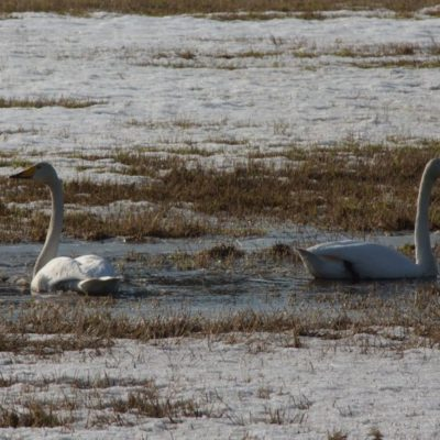 2020-04-25 Svanarna behöver inte mycket vatten för att trivas. Foto: Åke Runnman