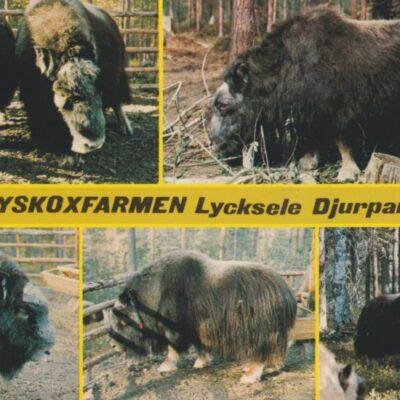 Myskoxfarmen, Lycksele Djurpark Copyright: Grönlunds Foto, Skansholm Poststämplat 3/8 1979 Ägare: Åke Runnman 10x15