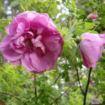 Blomma, nypon och knopp, allt på samma gren. Fotot taget den 3 september 2004.