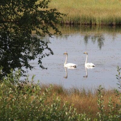 2015-08-30 Svanar ligger fortfarande kvar i Lilla Rankbågatjärn Foto: Rolf Wahlberg
