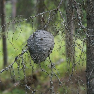 2014-08-12 På en torr grankvist i skogen hade några getingar byggt ett riktigt fint bo. Foto: Åke Runnman