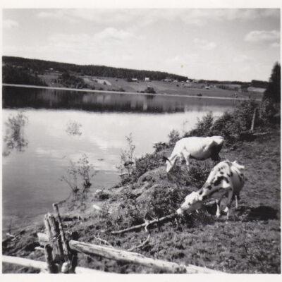Maj 2017 Här kommer en bild som får mig att tänka på sommar och förr i tiden när korna gick omkring ganska fritt, ibland på skogsbete  Bilden är tagen sommaren 1956 och fanns bland Tage Örestigs bilder