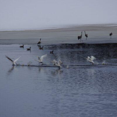 2018-04-18 I dag syntes de första tranorna nere vid bron och de hade sällskap av många andra fåglar  Foto: Åke Runnman