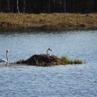 2018-05-14 Svanarna i Rankbågatjärn har lärt sig av fjolårets höga vatten att bygga på bobalen och nu ligger de tydligen på ägg. Foto: Åke Runnman