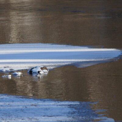 2019-03-05 Förhoppning om ännu en sommar! Första svanen syns nere vid bron och i dag hade den sällskap av en gräsand och på stenen i mitten en strömstare.  Foto: Åke Runnman
