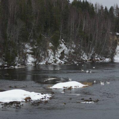 2020-03-15 Så har ytterligare svanar anslutit sig till gänget nere vid bron och förutom dessa så låg fyra svanar också ovanför bron = tillsammans 24 svanar. Foto: Åke Runnman