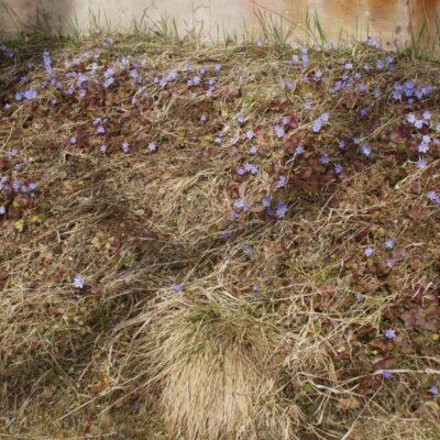2020-05-05 Blåsippor i mängd hälsar våren välkommen. Foto: Åke Runnman
