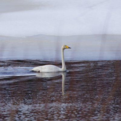 2021-03-23 Våren är på väg, svanarna har börjat visa sig  Foto: Åke Runnman