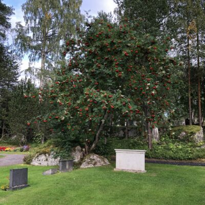 2021-08-22 Hösten börjar närma sig, tranorna skriker på morgnarna och rönnarna dignar av rönnbär. Här syns en rönn nere på kyrkogården full av rönnbär. Foto: Åke Runnman
